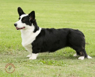 Black and white corgi