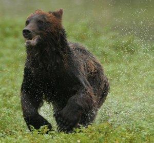 running_bear