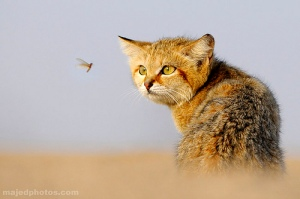 focus-cat-bug
