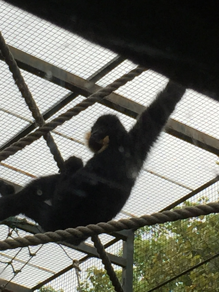 I want to be a gibbon! they have so much fun!!