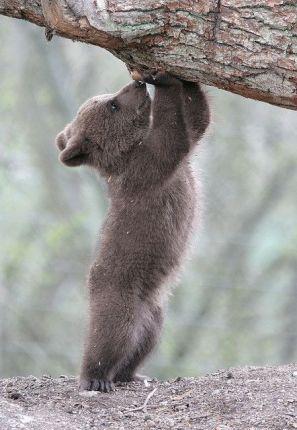 strong little bear
